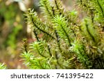 Small photo of Closeup of tall green wet Dawsonia acrocarpous moss at Kinabalu national park, Malaysia, Asia (Dawsonia longiseta)