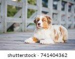 australian shepherd puppy... | Shutterstock . vector #741404362