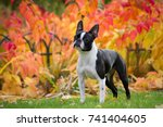 Boston Terrier Dog Female...
