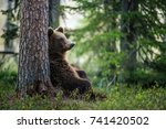 wild adult brown bear   ursus... | Shutterstock . vector #741420502