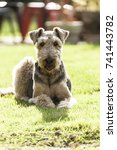 Small photo of Airedale Terrier, The King Of Terriers