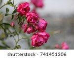 Stock photo rose 741451306