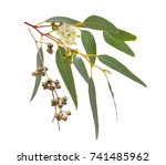 blossoming eucalyptus with... | Shutterstock . vector #741485962