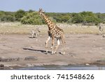 Giraffe Together With Zebra At...