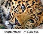 Far Eastern Leopard  Or Amur...
