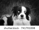 border collie | Shutterstock . vector #741701008