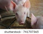 Close Up Piglet Waiting Feed I...