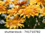 chrysanthemum flowers grow... | Shutterstock . vector #741710782
