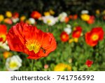red  yellow and white poppy... | Shutterstock . vector #741756592