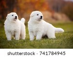 Stock photo white swiss shepherd two cute little puppy standing together outdoor on the grass 741784945