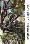 Small photo of Manzanita Tree