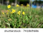 Small photo of Yellow Aspilia bush in the field