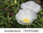Portulaca Grandiflora Or Rose...
