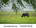 water buffalo at mt. pinatubo ... | Shutterstock . vector #742097818