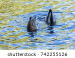 Floating Ducks At The Alster...