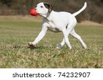 Stock photo old english bulldog whelp months playing with toy cat original race alte englische bulldogge 74232907