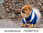 the small wear spitz is barking ... | Shutterstock . vector #742487512