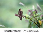 Small photo of Shining sunbeam (Aglaeactis cupripennis) hummingbird on a bush in the Antisana Ecological Reserve, Ecuador