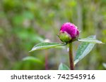 Closeup Of Red Peonies In The...