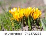 crocus  crocuses or croci that...   Shutterstock . vector #742572238