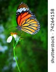 Stock photo a beautiful orange butterfly resting on a white flower 74264158