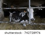 holstein friesian dairy cow in... | Shutterstock . vector #742728976