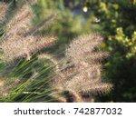 ornamental grass in the garden  ... | Shutterstock . vector #742877032