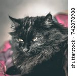 Stock photo the black cat has a queen look 742878988