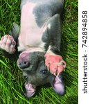 Small photo of Happy Bluenose pit bull terrier waving hello, laying in the grass.