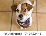 two beautiful dogs wearing... | Shutterstock . vector #742913446