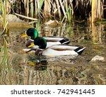 Two Male Mallards On Pond