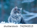 Stock photo portrait of a gray siberian cat outdoors in a forest in winter blue toned night effect 742943515