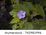Small photo of Nicandra blue bell shaped flower,sometimes known as Shoo fly plant showing flower and fruit