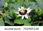 Passion Fruit Flower Surrounded ...