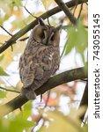 northern long eared owl in a... | Shutterstock . vector #743055145