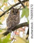 northern long eared owl in a... | Shutterstock . vector #743055172