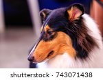 Collie Is An Extremely...