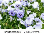 white and purple violets.... | Shutterstock . vector #743104996