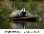 european badger above water... | Shutterstock . vector #743133016