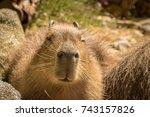 capybara sleeping in warm sun    Shutterstock . vector #743157826