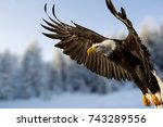 Close Up Of Bald Eagle In...