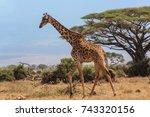 giraffe in amboseli   kenya . | Shutterstock . vector #743320156