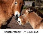 przewalski's horses  mother... | Shutterstock . vector #743338165