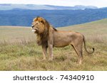A Lone Male Lion Standing Prou...
