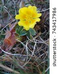 Small photo of Yellow wildflower Tormentil, Potentilla tormentilla