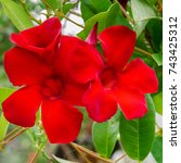 Small photo of Sundaville Beauty Burgundy flower in tropical Garden in Tenerife, Canary Islands, Spain. Beautiful blooming Mandevilla Dipladenia background. Vibrant red floral image.