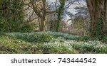 snowdrops   Shutterstock . vector #743444542