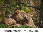 Lion And Lioness Lying In The...