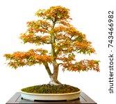 Small photo of Maple tree (Acer palmatum) as bonsai white isolated