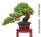 Conifer Japanese White Pine ...